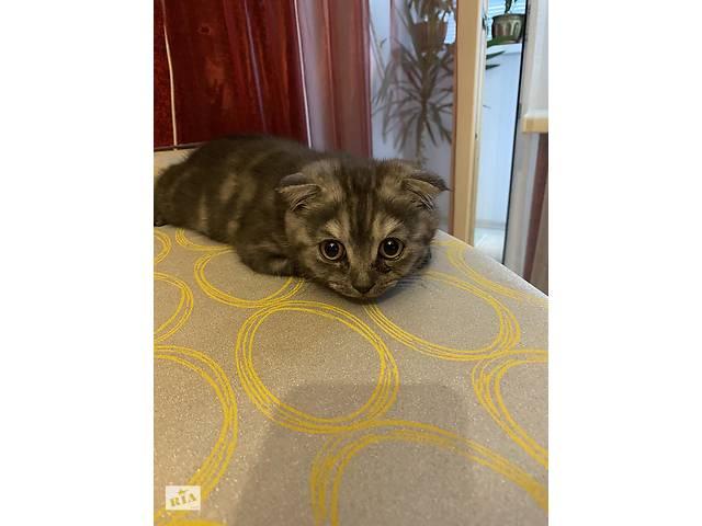продам Милый шотландский котенок бу в Києві