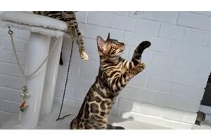 Бенгальский кот BENn24 мальчик 🐆🐆🐆