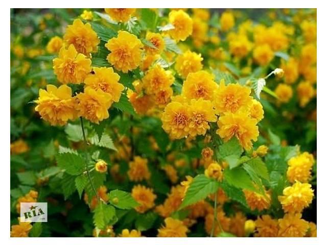 Керрия японская Пленифлора (Кerria japonica 'Pleniflora')- объявление о продаже  в Николаеве