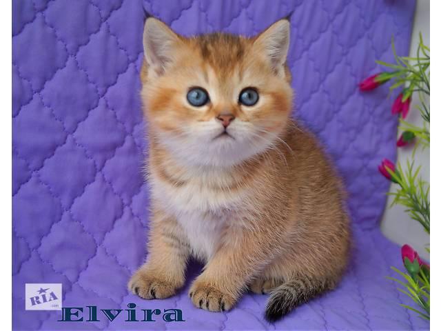 бу Клубные типажные золотые котята в Днепре (Днепропетровск)