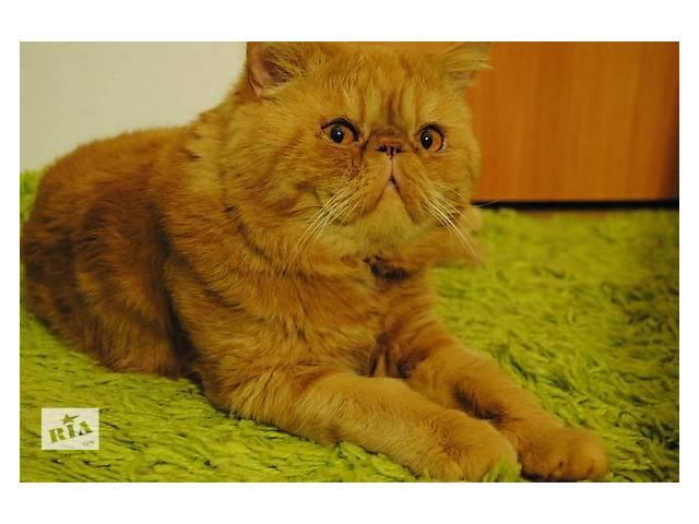 бу Кіт Екзот-екстремал для кішечки на в'язку в Києві