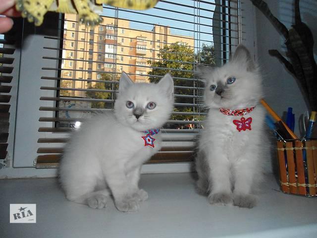 Котята Невские маскарадные- объявление о продаже  в Полтаве