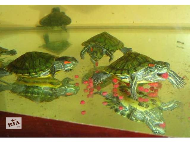 купить бу Красноухая черепаха – заказывайте прямо сейчас с доставкой. в Киеве