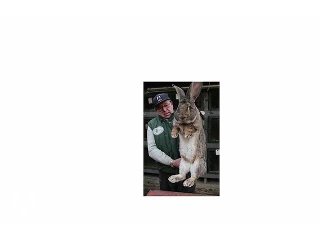 продам Кролик живом весе куплю от 2.5кг оптом бу в Виннице