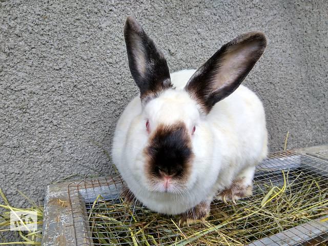 купить бу Покупайте кролики породы Калифорнийская