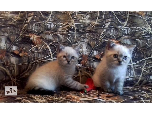 бу линксовые котята в Житомире