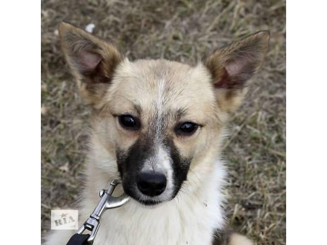 Молоденькая собачка небольших размеров ищет  семью! - объявление о продаже  в Киеве