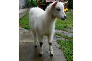 Кози, козенята