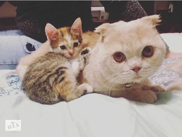 продам Продается шотландский вислоухий кот. бу в Тячеве