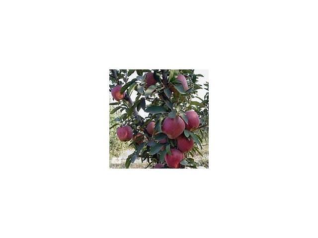 купить бу саженцы яблони в Бахмуте (Артемовск)