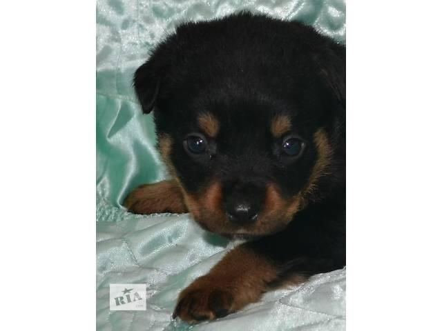 купить бу Перспективные щенки ротвейлера в Днепре (Днепропетровск)