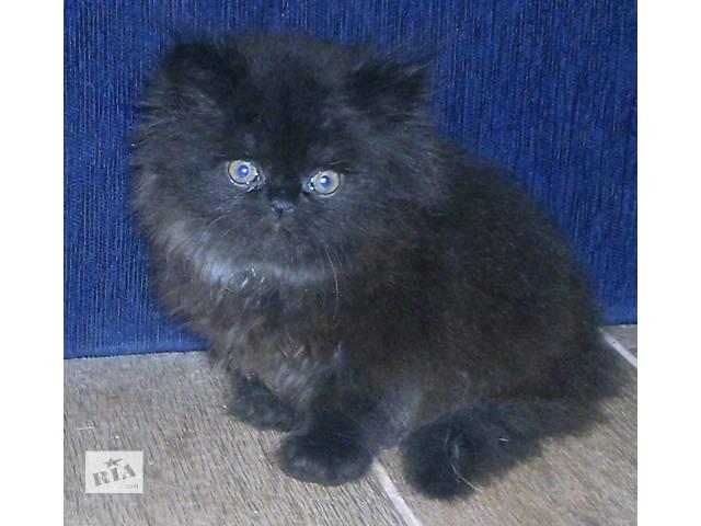 купить бу персидский котенок необыкновенной пушистости в Запорожье