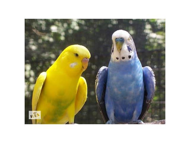 купить бу Попугаи волнистые в Николаеве