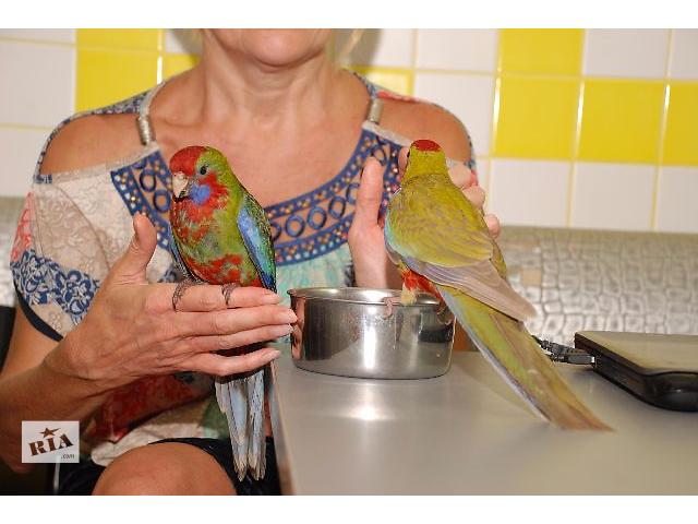 Попугай  розелла пенантовая и розелла бледнолицая выкормленные вручную птенцы- объявление о продаже  в Киеве