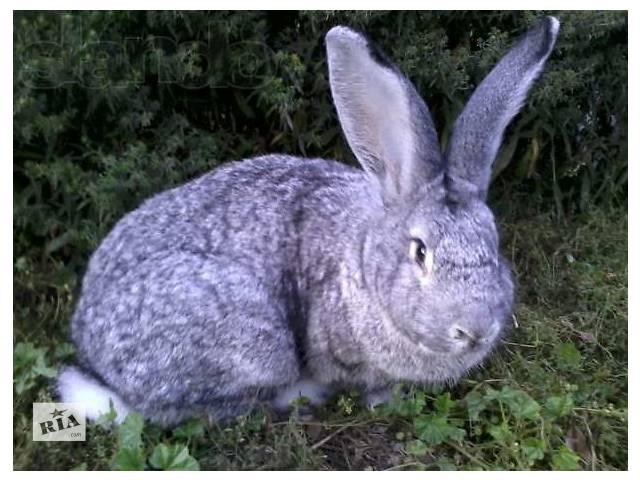 продам породистые кролики продажа бу в Калиновке (Винницкой обл.)