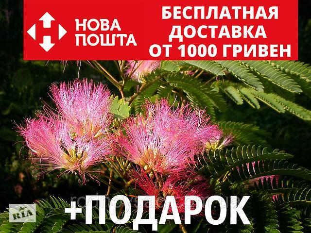 купить бу Альбиция ленкоранская семена 10 шт (Albizia julibrissin) шёлковая акация для саженцев насіння в Андреевке