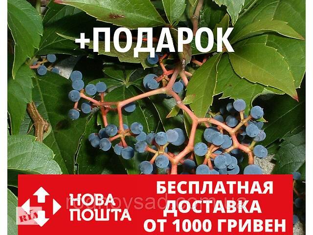 купить бу Девичий виноград дикий пятилистный семена(20 шт) для саженцев семечки, косточки, насіння Parthenocissu+подарок в Андреевке