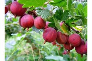 Плодові чагарники