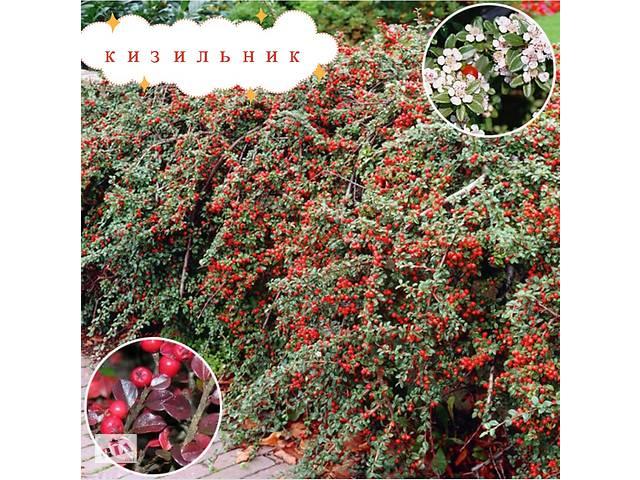 купить бу Кизильник. Неприхотливое растение с мелкими глянцевыми листьями.Цветёт маленькими цветами,после которых - красные ягоды. в Бердянске