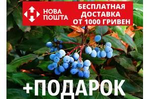 Магония падуболистная семена (10 шт) для выращивания саженцев Mahōnia aquifōlium