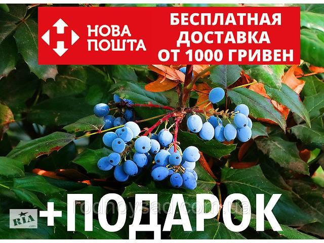 купить бу Магония падуболистная семена (10 шт) для выращивания саженцев Mahōnia aquifōlium в Андреевке