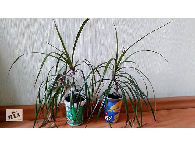 купить бу Пальма драцена в Житомире