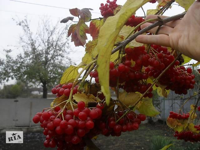 Продам саженцы садовой высокоурожайной калины.- объявление о продаже  в Днепре (Днепропетровск)