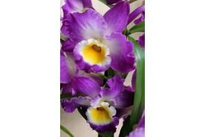 19f50bb2d Орхидеи Одесса: купить Цветы орхидеи недорого в Одессе на RIA.com