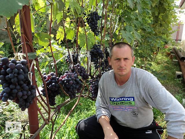 купить бу Саджанці столового винограду в Виноградове