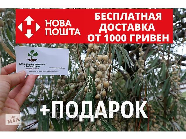 купить бу Семена дикой маслины (50 штук) лох серебристый косточка для саженцев Elaeagnus commutata, насіння в Андреевке