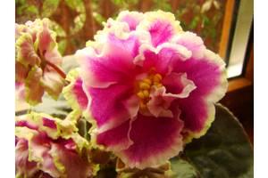 Геснериевые растения