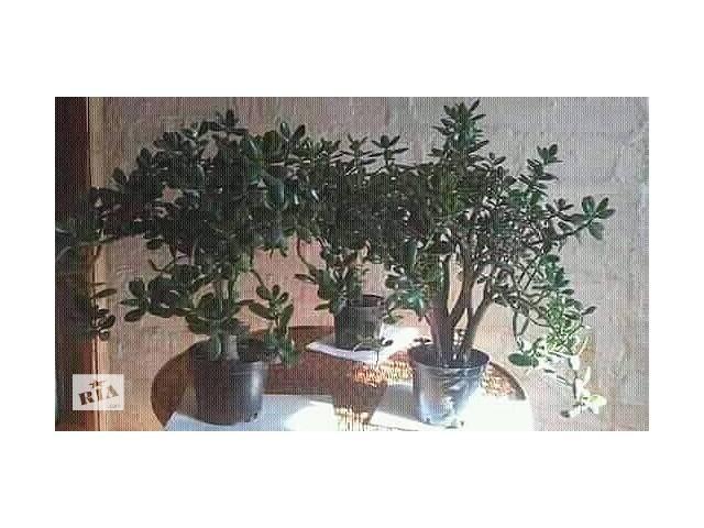 Толстянка Красула Грошове дерево Денежное дерево- объявление о продаже  в Копылове