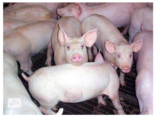 купить бу Продаем шикарных свиней мясо-беконной породы.Убедитесь в качестве! в Киеве