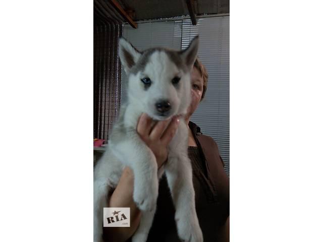 продам Продам двух щенков сибирской хаски бу в Кременчуге