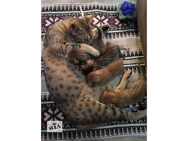 продам Продам котят породы ОЦИКЕТ (ocicat) бу в Киеве