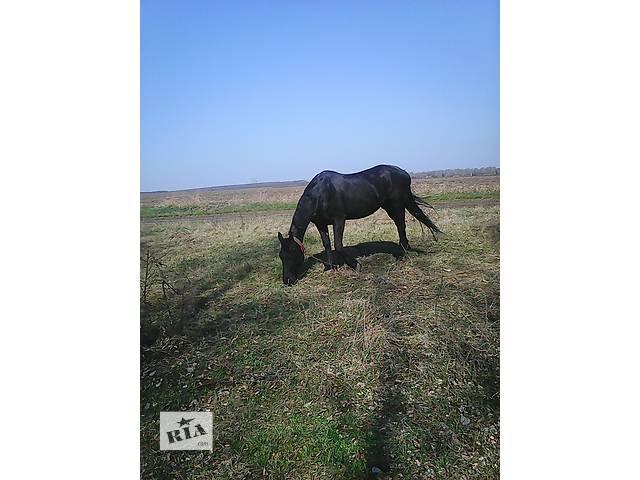 купить бу Продам лошадь в Христиновке (Черкасской обл.)
