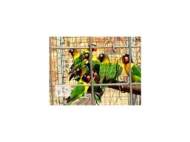 бу продам попугаев неразлучников масковых оптом и в розницу в Симферополе