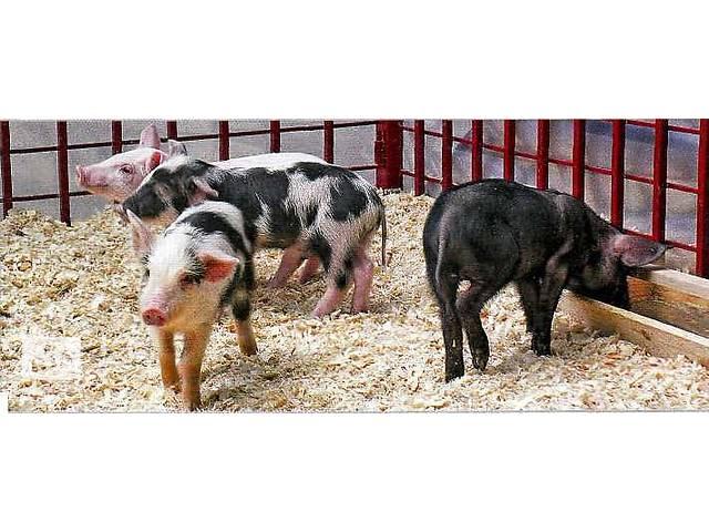 бу Продам поросят мясного направления выращивания в Мукачевском районе в Мукачево