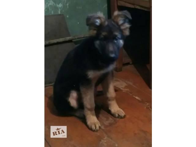 бу продам щенка в Лисичанске