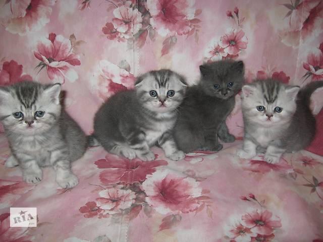 купить бу Продам шотландских котят в Харькове