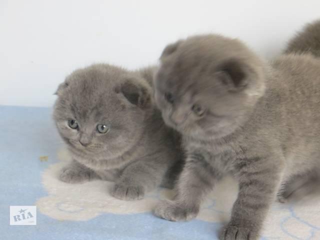 бу Продам вислоухих и прямоухих котят разных окрасов по разным ценам в Днепре (Днепропетровск)