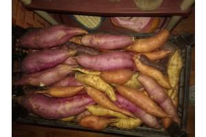 Батат, солодка картопля