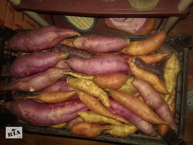 Батат, солодка картопля- объявление о продаже  в Кривому Розі