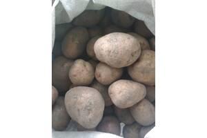 """Продам картоплю домашню """"Белла Роса"""""""