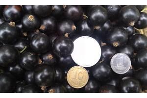Продам свежие ягоды чорной смородины урожай 2020