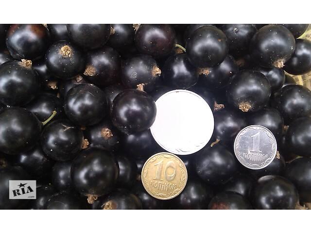 Продам свежие ягоды чорной смородины урожай 2020- объявление о продаже  в Конотопе
