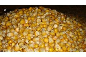 Зерно кукурудзи, урожай 2019року