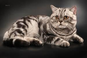 Шотландский мраморный кот приглашает на вязку