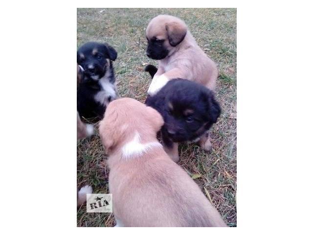 продам Щенки-карапузы,чудесные маленькие щеночки  бу в Киеве