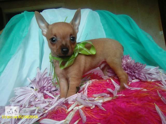 продам щенки минитой терьера бу в Лисичанске